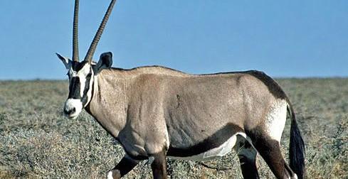 491px-Oryx_Gazella_Namibia(1)