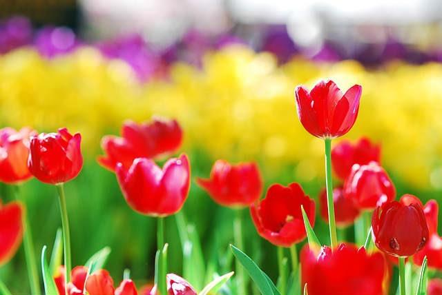 tulips-517076_640