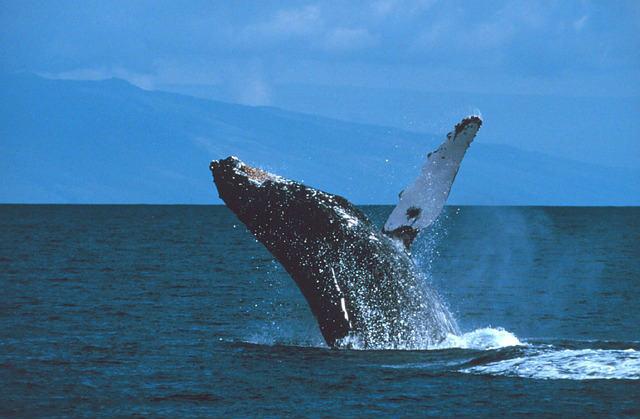humpback-whale-591127_640