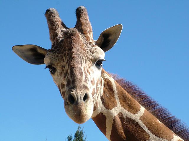 giraffe-803674_640