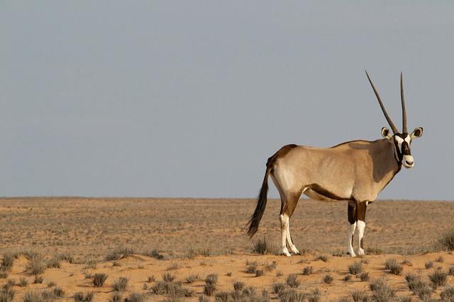 oryx-828992_640