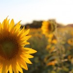 sunflower-475564_640