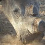 white-rhino-399558_640
