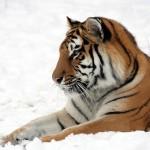 tiger-585856_640