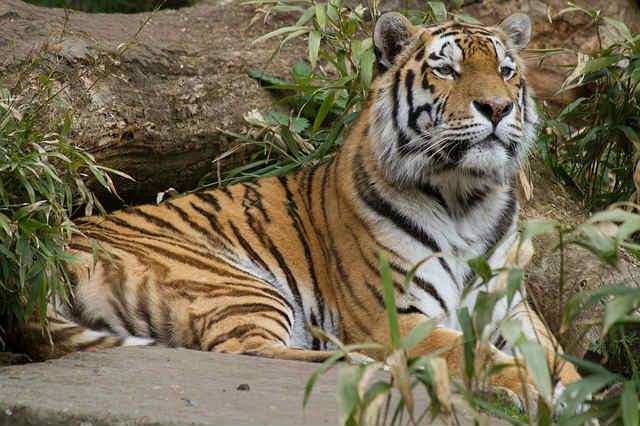 tiger-695335_640