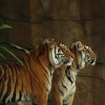 tiger-934042_640