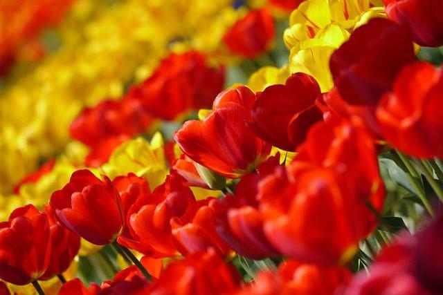 tulip-67410_640