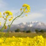 春の景色(菜の花)
