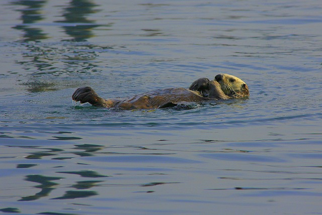 sea-otter-442246_640
