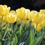 春の景色(チューリップ)